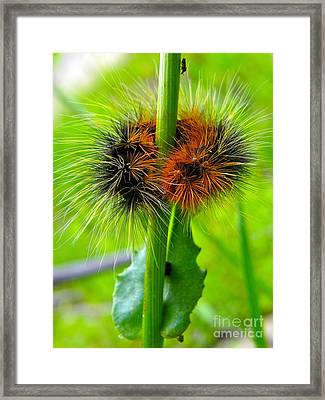 Woolly Bear Scarf Framed Print