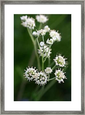Wooly Whites Wildflowers Framed Print by Linda Phelps