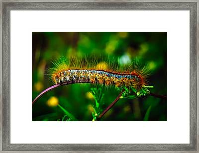 Wooly Worm Framed Print
