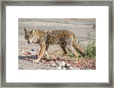 Framed Print featuring the photograph Worn Down Coyote by Dan McManus