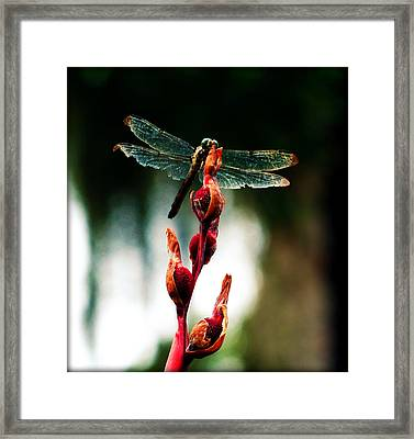 Wornout Dragonfly Framed Print
