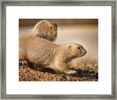 Worried Prairie Dog Framed Print by Robert Frederick