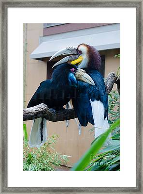 Wreathed Hornbills Framed Print