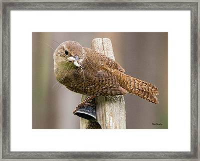 Wren Ringing The Dinner Bell Framed Print