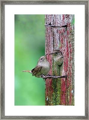 Framed Print featuring the photograph Wrens by John Hix