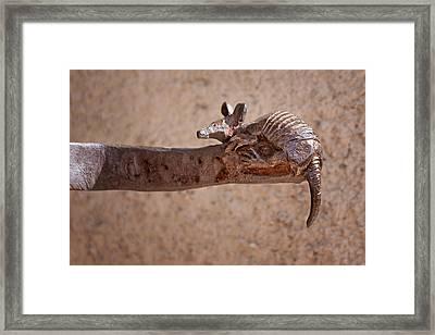 Wrought Iron - Armadillo Framed Print by Nikolyn McDonald