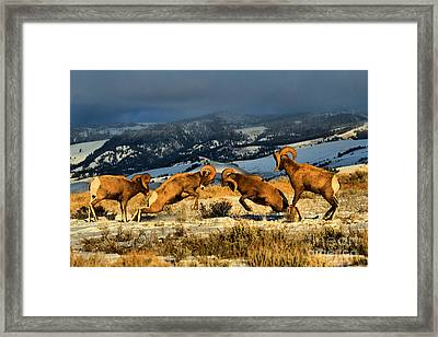 Framed Print featuring the photograph Wyoming Bighorn Brawl by Adam Jewell