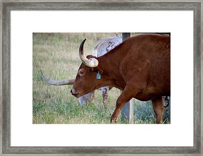 Wyoming Long Horns On The Ranch Framed Print by Thomas Woolworth