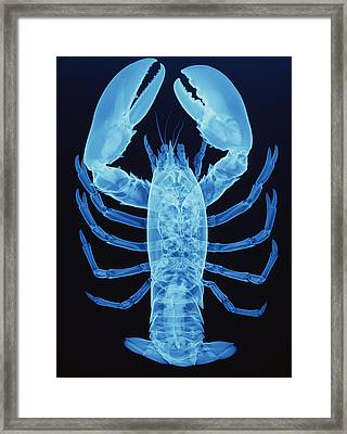 X-ray Of Lobster Framed Print by D. Roberts