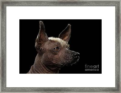 Xoloitzcuintle - Hairless Mexican Dog Breed, Studio Portrait On Black Background Framed Print by Sergey Taran