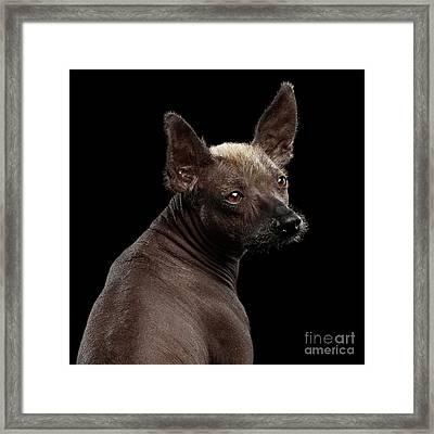 Xoloitzcuintle - Hairless Mexican Dog Breed, Studio Portrait On  Framed Print by Sergey Taran
