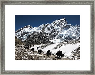 Yaks In The Himalayas Framed Print by Laura Szanto