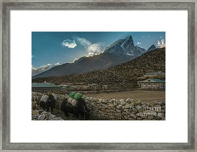Framed Print featuring the photograph Yaks Moving Through Dingboche by Mike Reid