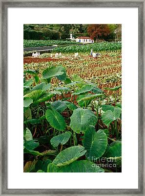 Yams Farm In Azores Framed Print by Gaspar Avila