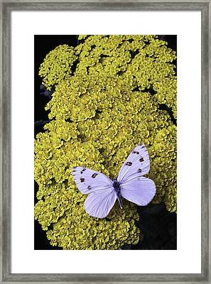 Yarrow With White Butterfly Framed Print by Garry Gay