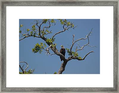 Framed Print featuring the photograph Yawkey Wildlife Reguge - American Bald Eagle by Suzanne Gaff