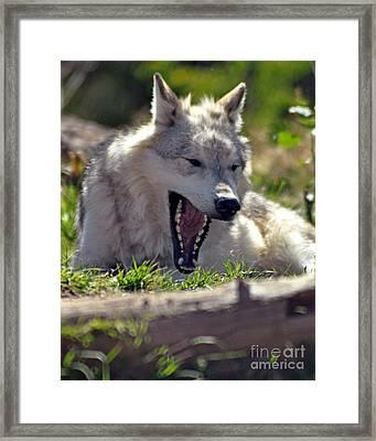 Yawn Framed Print by Diane E Berry