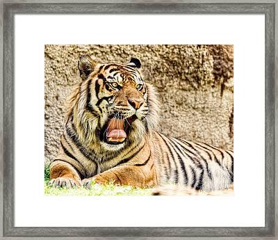 Yawning Bengal Tiger Framed Print by Jon Woodhams