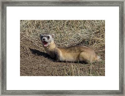 Yawning Black-footed Ferret Framed Print by Tony Hake