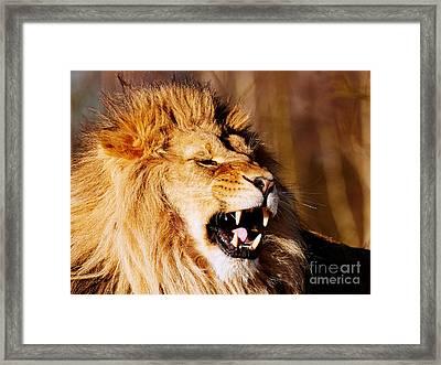 Yawning Lion Framed Print by Nick Biemans