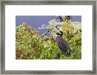 Yawning Yellow Crowned Night Heron - Texas Framed Print by Ellie Teramoto