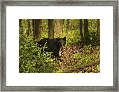 Yearling Black Bear Framed Print
