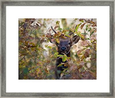 Framed Print featuring the photograph Yearling Elk Peeking Through Brush by Michael Dougherty
