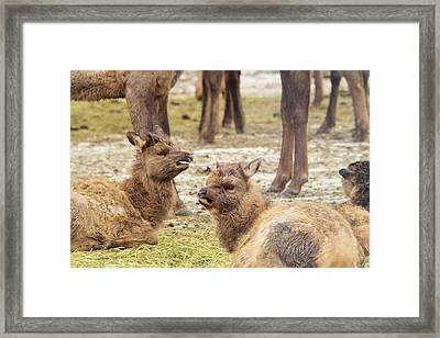 Framed Print featuring the photograph Yearlings by Jeff Swan