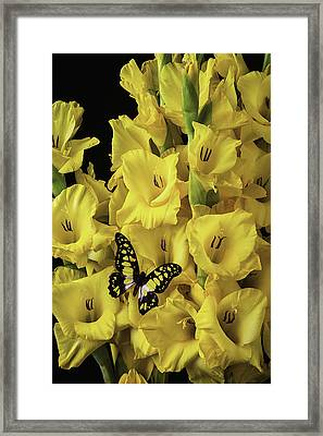 Yellow And Black Butterfly On Yellow Glads Framed Print by Garry Gay