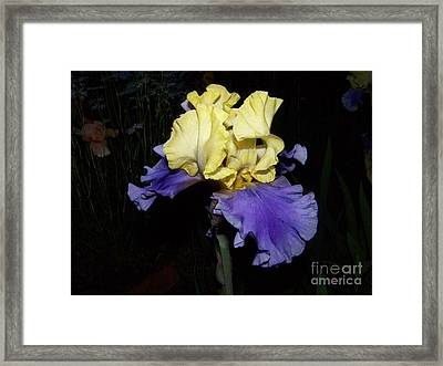 Yellow And Blue Iris Framed Print