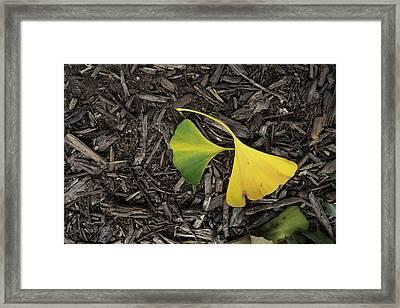 Yellow And Green Gingko Framed Print