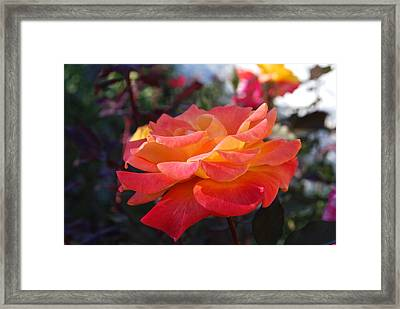 Yellow And Pink Rose Framed Print