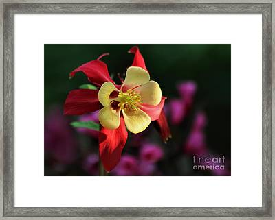 Yellow And Red Columbine Framed Print by Kenny Glotfelty