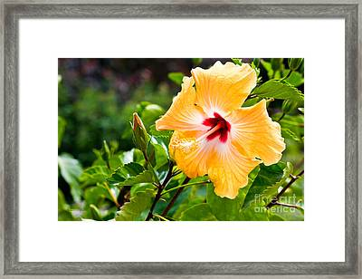 Yellow And Red Hibiscus Framed Print