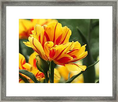 Yellow And Red Triumph Tulips Framed Print by Rona Black