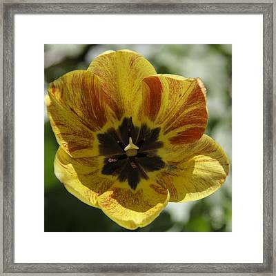 Yellow And Red Tulip Center Squared Framed Print