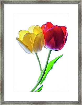 Yellow And Red Tulips On White Framed Print by Vishwanath Bhat