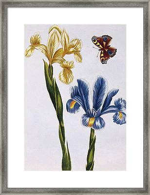 Yellow And Violet Irises Framed Print by Pierre-Joseph Buchoz