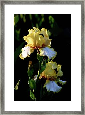 Yellow And White Irises 6681 H_2 Framed Print