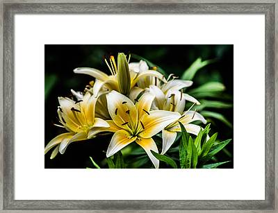 Yellow And White Lilys Framed Print