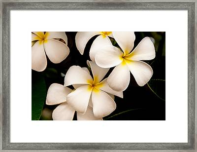 Yellow And White Plumeria Framed Print