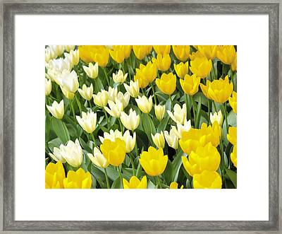 Yellow And White Tulips Framed Print