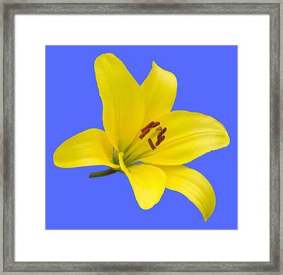 Yellow Asiatic Lily On Blue Framed Print by Jane McIlroy