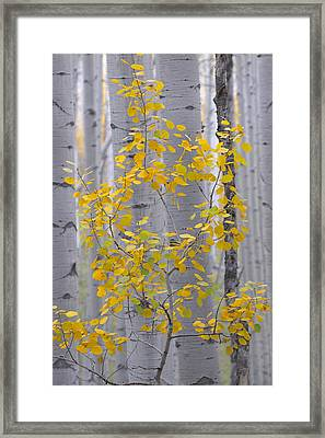 Yellow Aspen Tree Framed Print