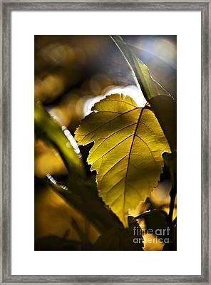Yellow Autumn Leaf Framed Print