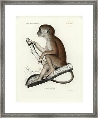 Yellow Baboon, Papio Cynocephalus Framed Print