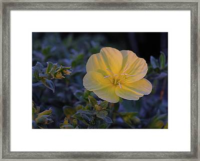 Framed Print featuring the photograph Yellow Beach Evening Primrose by Marie Hicks