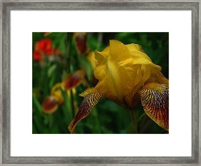 Yellow Beared Iris Framed Print by Martin Morehead