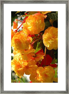Yellow Begonia Flowers.  Victoria Framed Print
