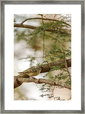 Yellow Bellied Flycatcher Framed Print by Natural Focal Point Photography